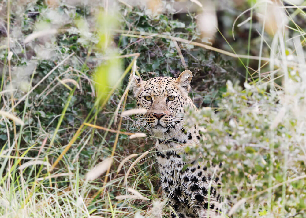 34Mapula-Lodge-Wildlife-Leopard-hiding.jpg