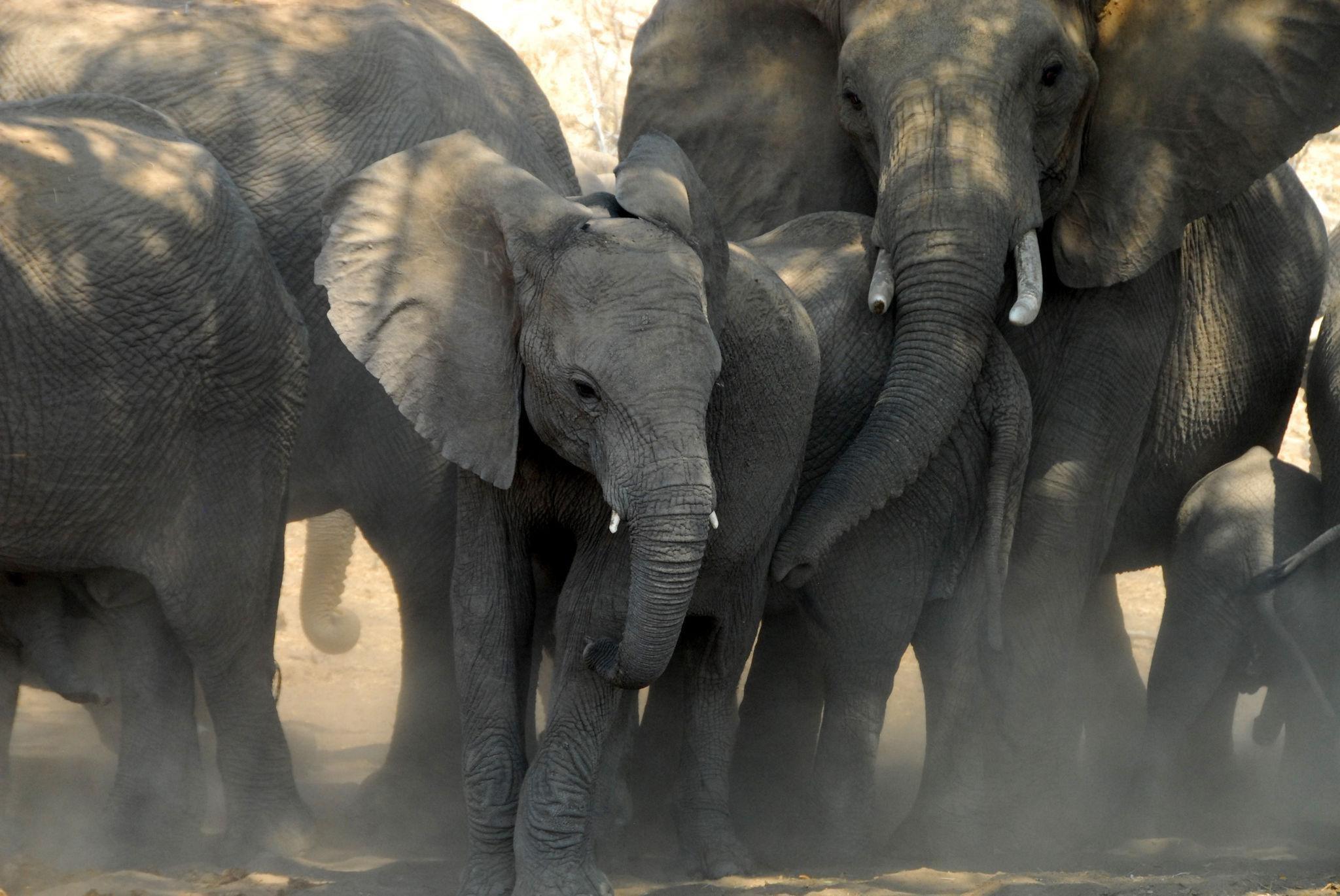 Elephants au Tuli Safari lodge.jpeg