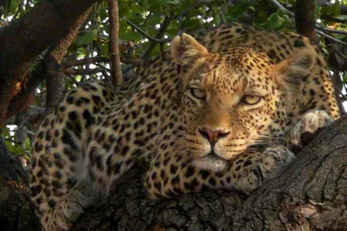 Leopard au Tuli Safari lodge.jpg