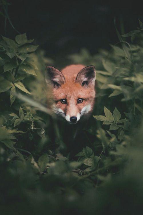 fox. - BOARD: FAUNA.