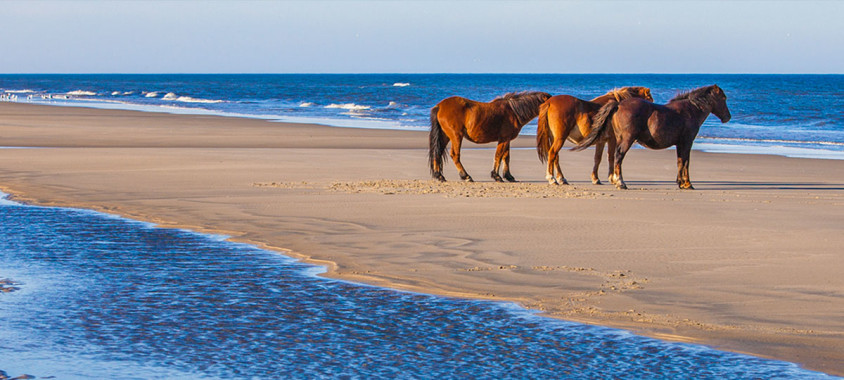 Wild Horses on the Beach at Corolla, NC.