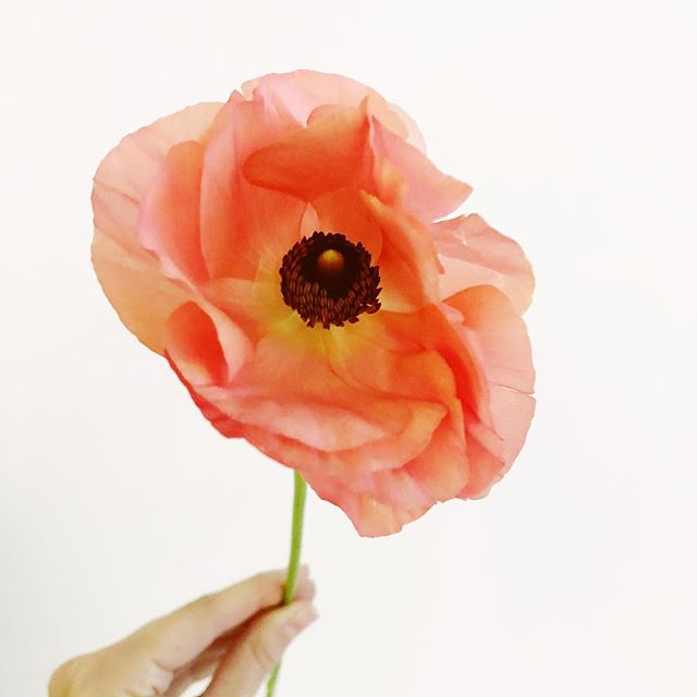 Hello, the most perfect ranunculus!