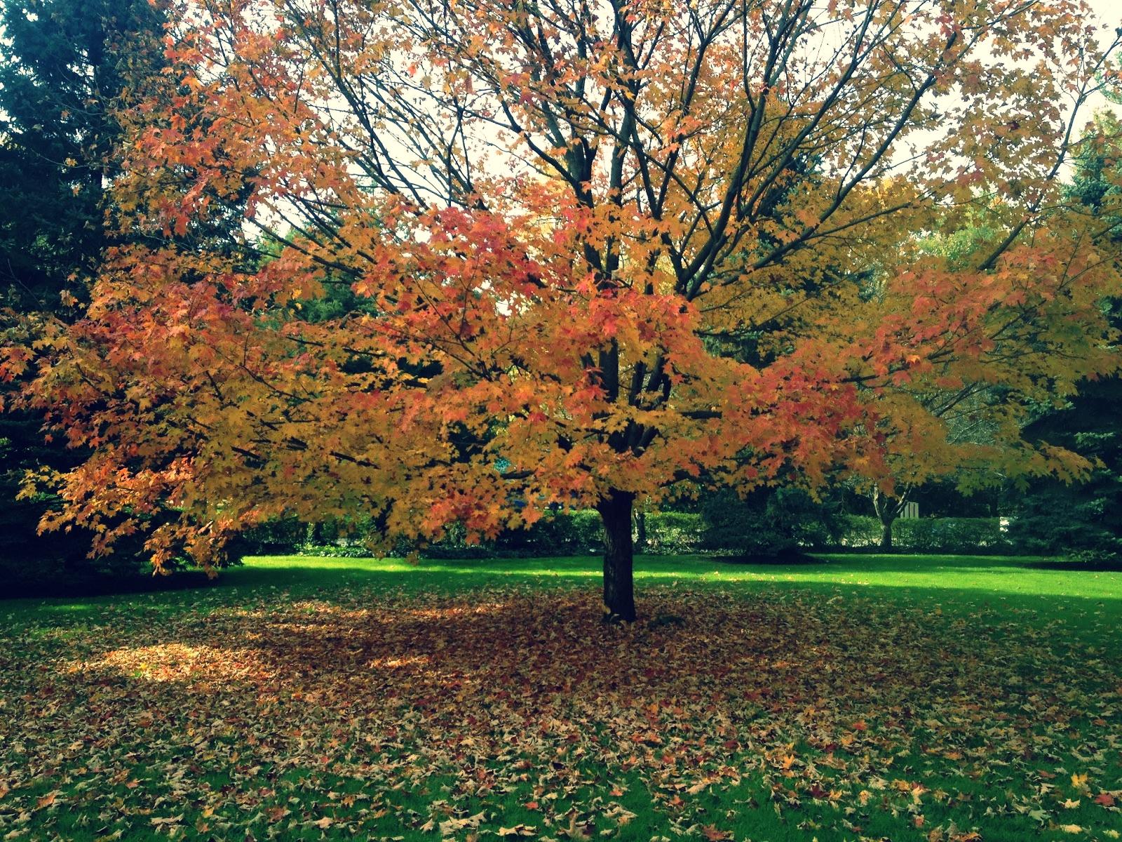 sugar maple fall color