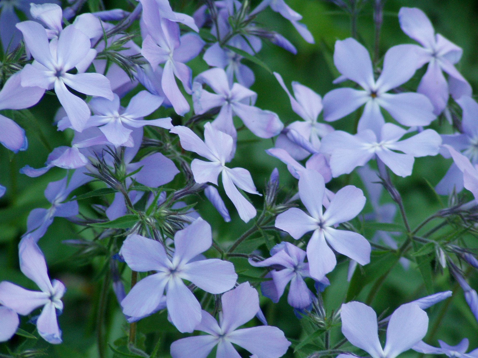 Phlox divaritica  is a key part of just one ecosystem web From Wikimedia Commons, CC BY-SA 3.0