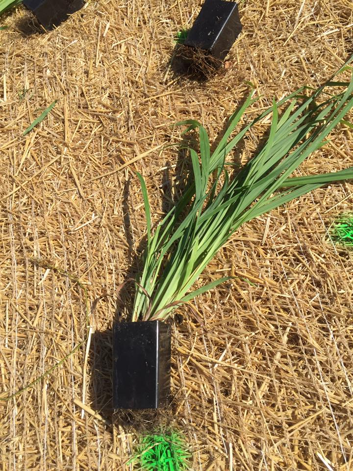 This native grass plug may look small, but with proper care in the first few years it will fill the bio swale quickly.