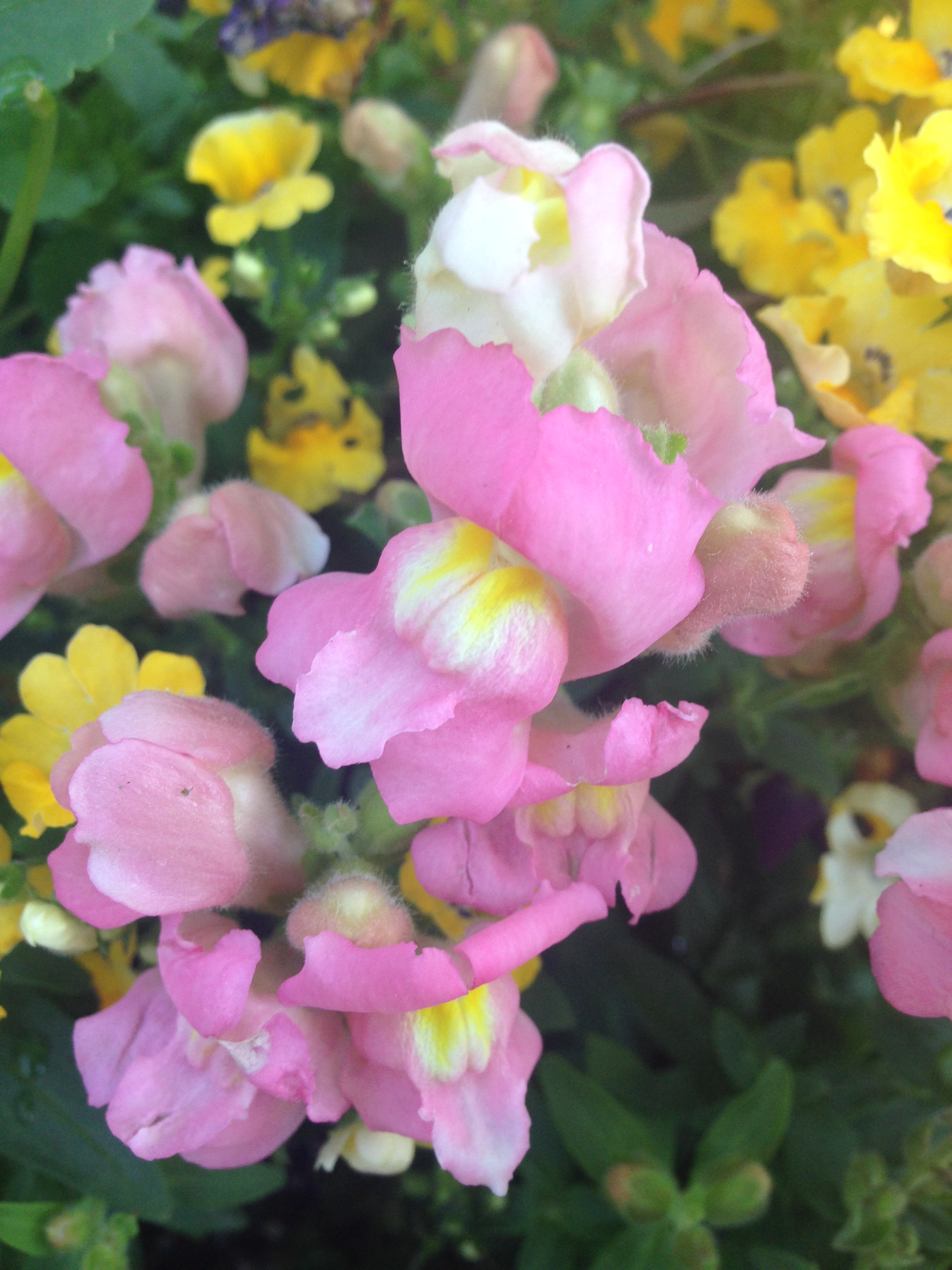 Snapdragon (photo by Maria Gulley)