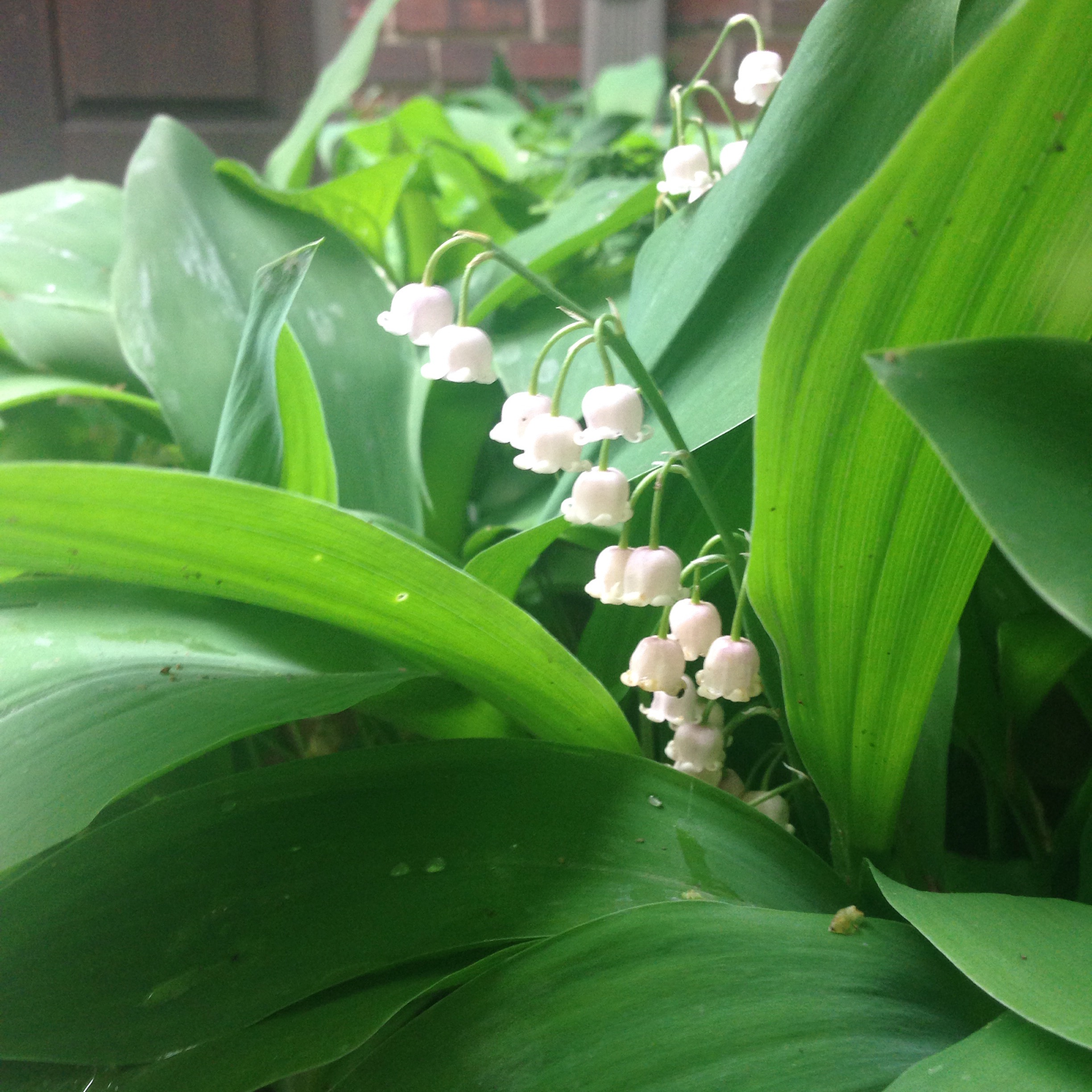 Lily-of-the-Valley (photo by Maria Gulley)