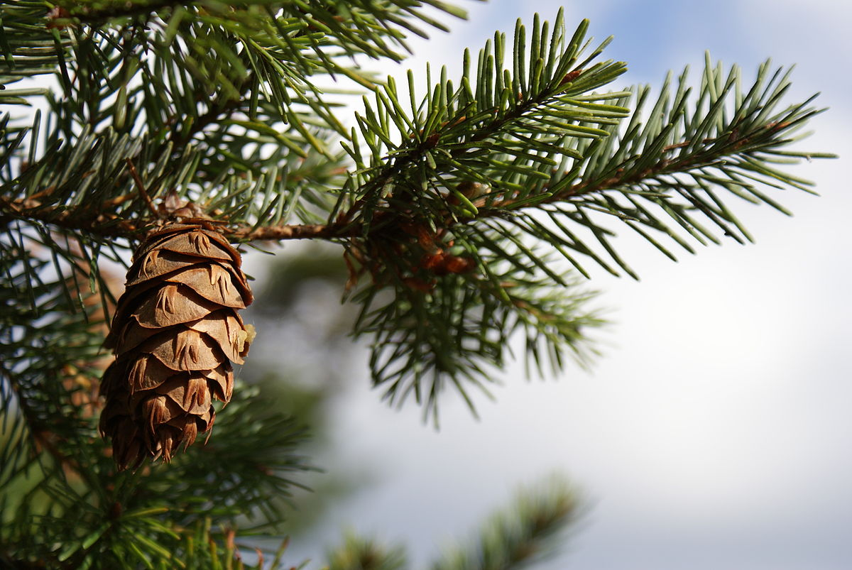 By RVWithTito - Pine Cone, CC BY 2.0