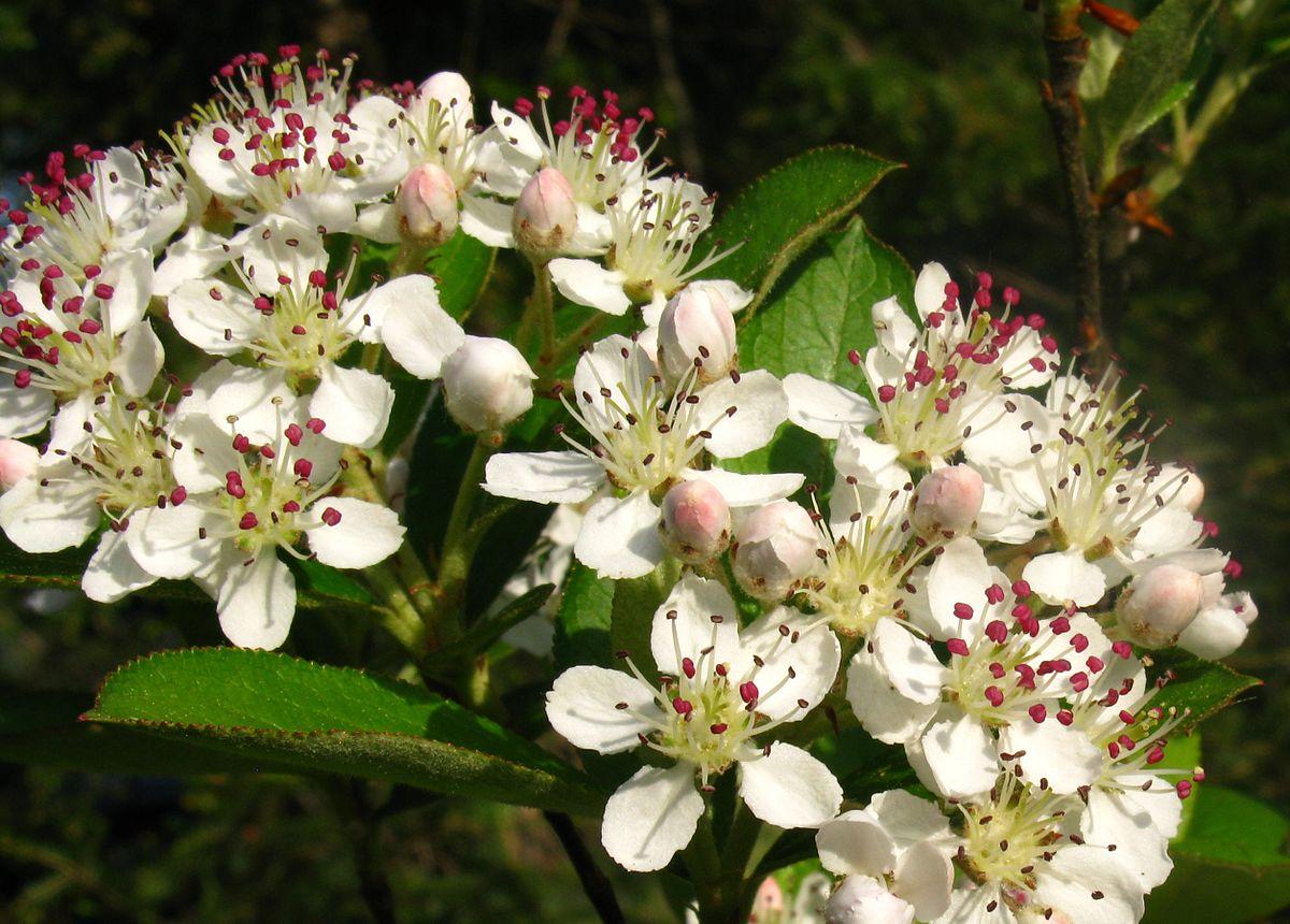 By Bob Gutowski - originally posted to Flickr as Aronia arbutifolia, Red chokeberry, CC BY 2.0