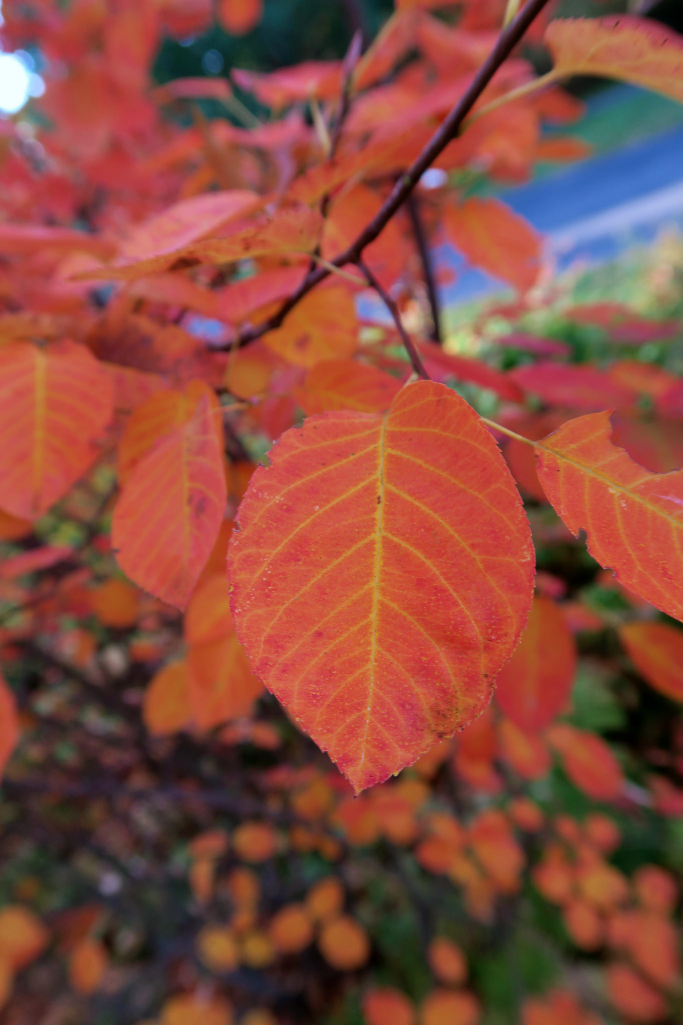By Kristine Paulus, Aronia melanocarpa 'Autumn Magic', New York Botanic Garden, retrieved from Flikr, CC BY 2.0