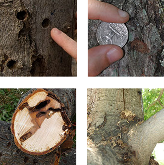 ALB signs clockwise from top right: exit holes, egg sites, sawdust-like frass, tunneling in trunk and branches. Images courtesy of the USDA APHIS