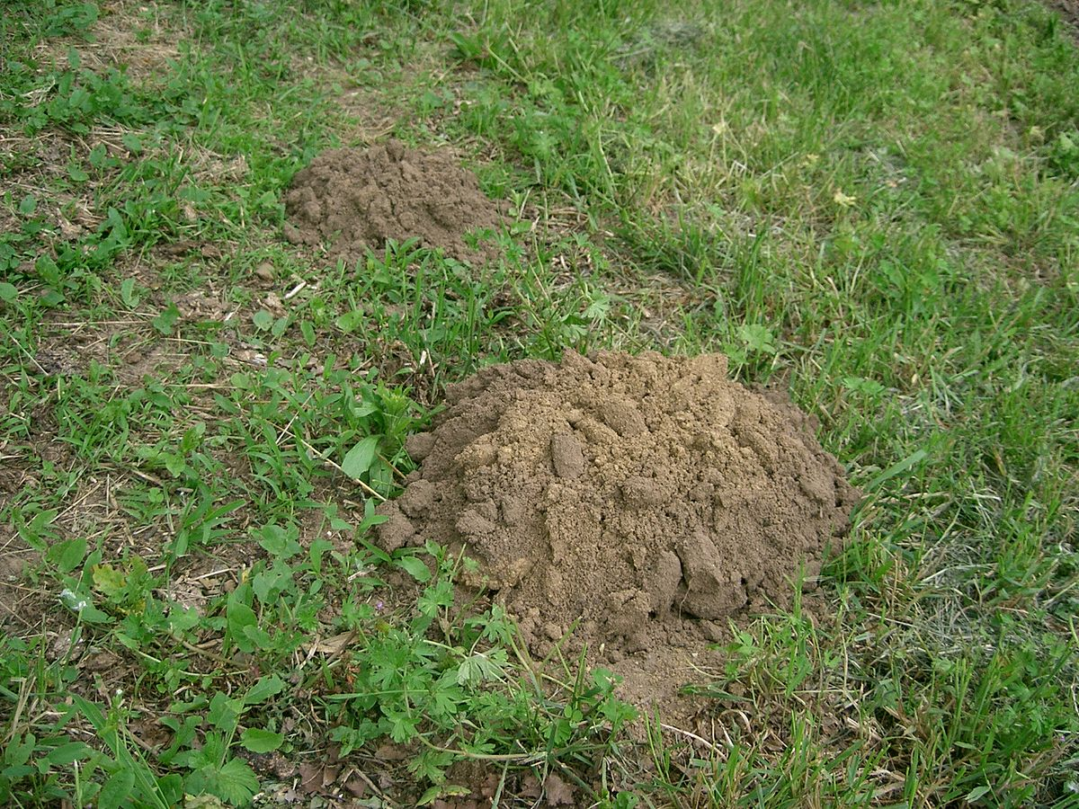 Mole mound  By No machine-readable author provided. PRA assumed (based on copyright claims). - No machine-readable source provided. Own work assumed (based on copyright claims)., CC BY-SA 3.0