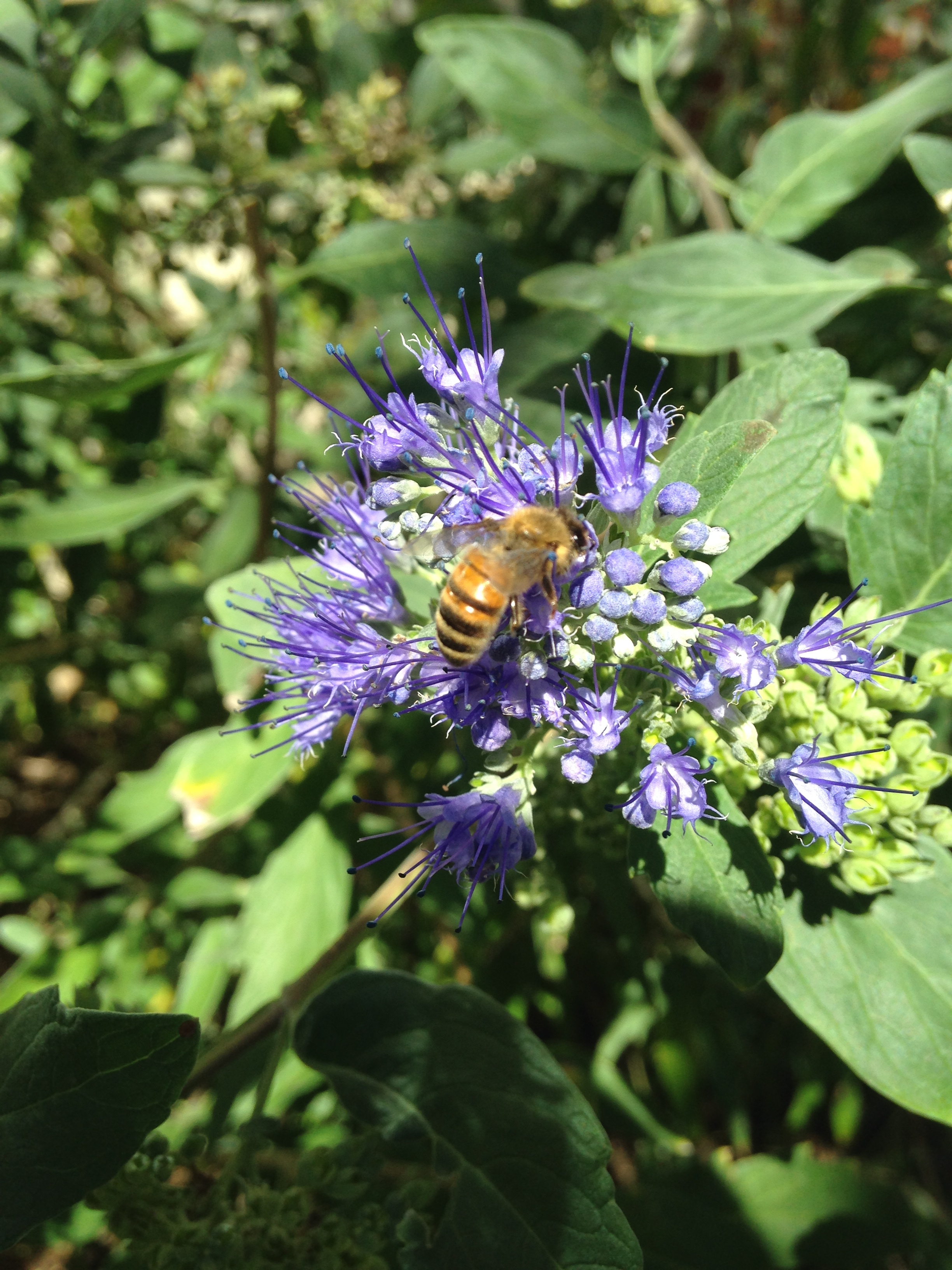 Bees love Bluebeard, an underrated shrub. Photo by Maria Gulley