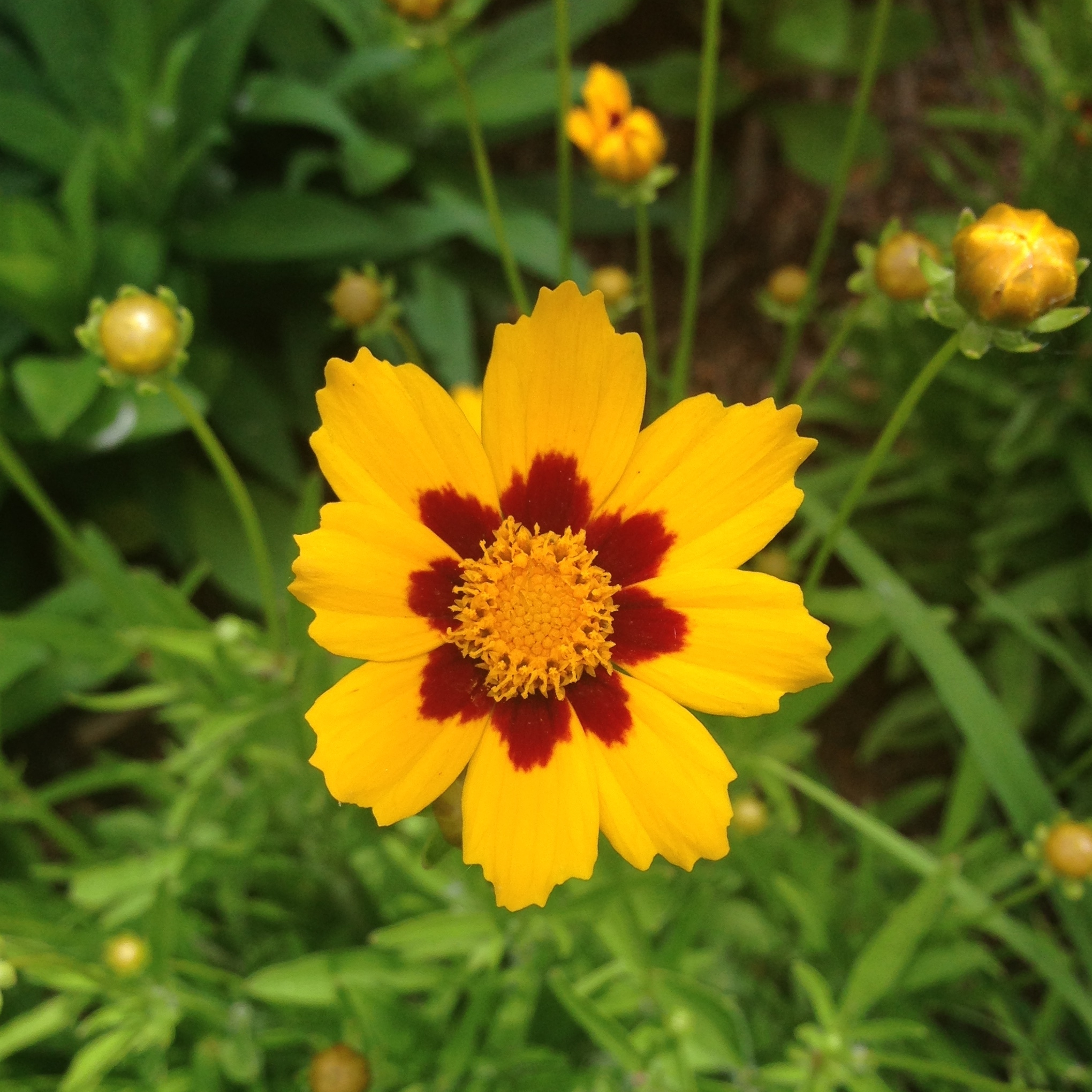 Coreopsis Photo by Maria Gulley