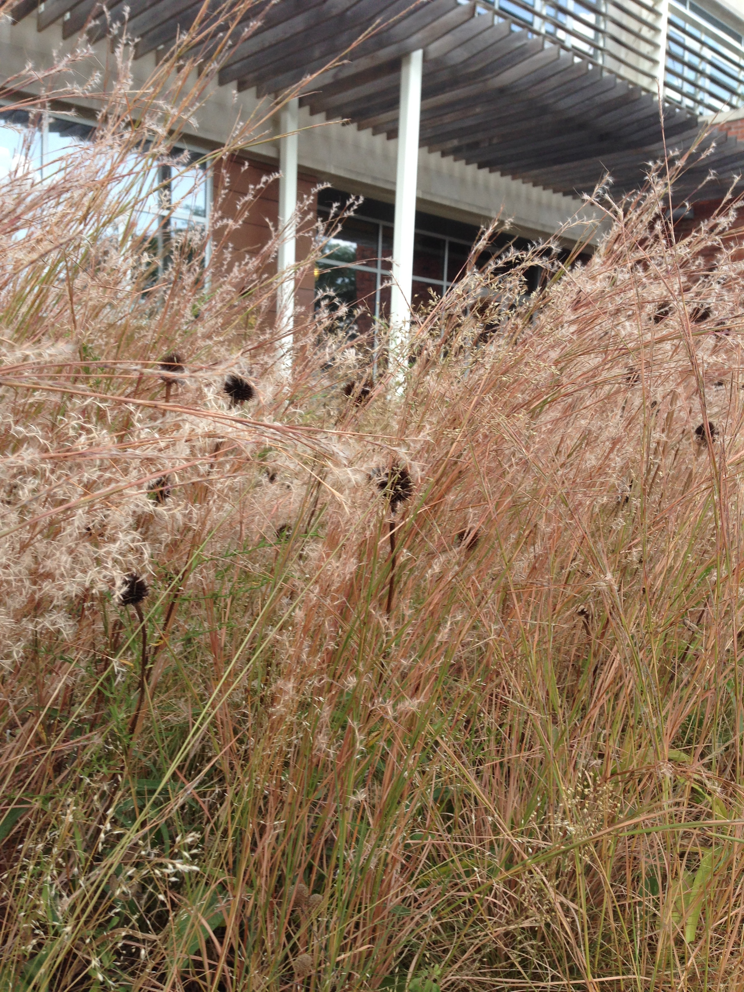 Little Bluestem starting to get fall color Photo by Maria Gulley