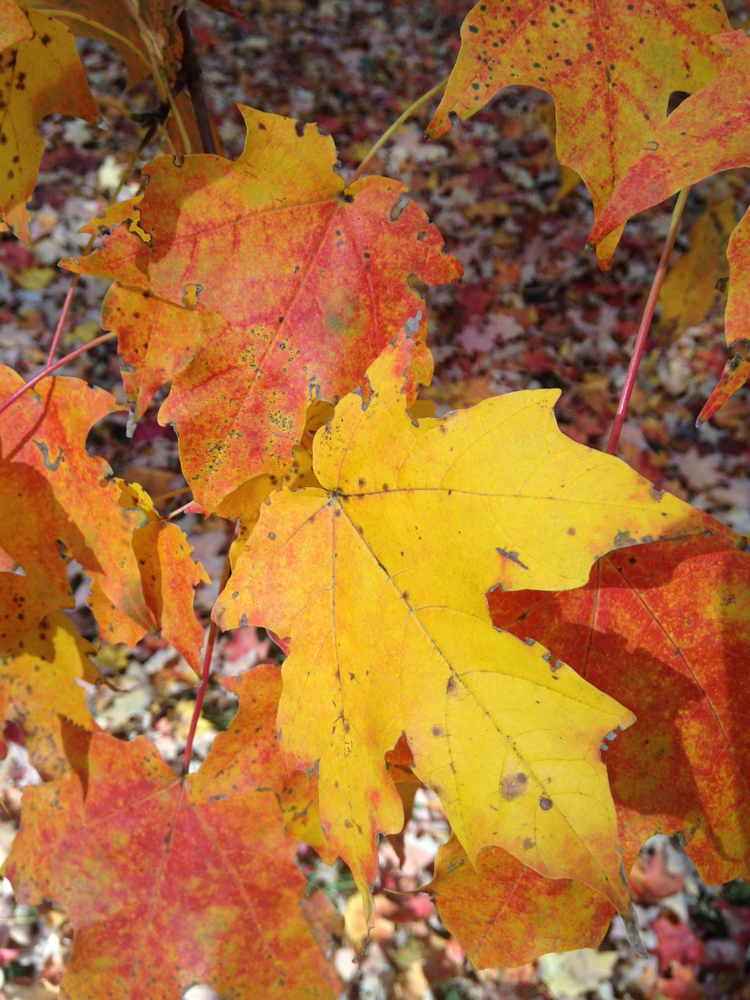 Maples often have great fall color Photo by Maria Gulley