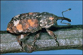 White Pine Weevil Photo courtesy of the USDA Forest Service