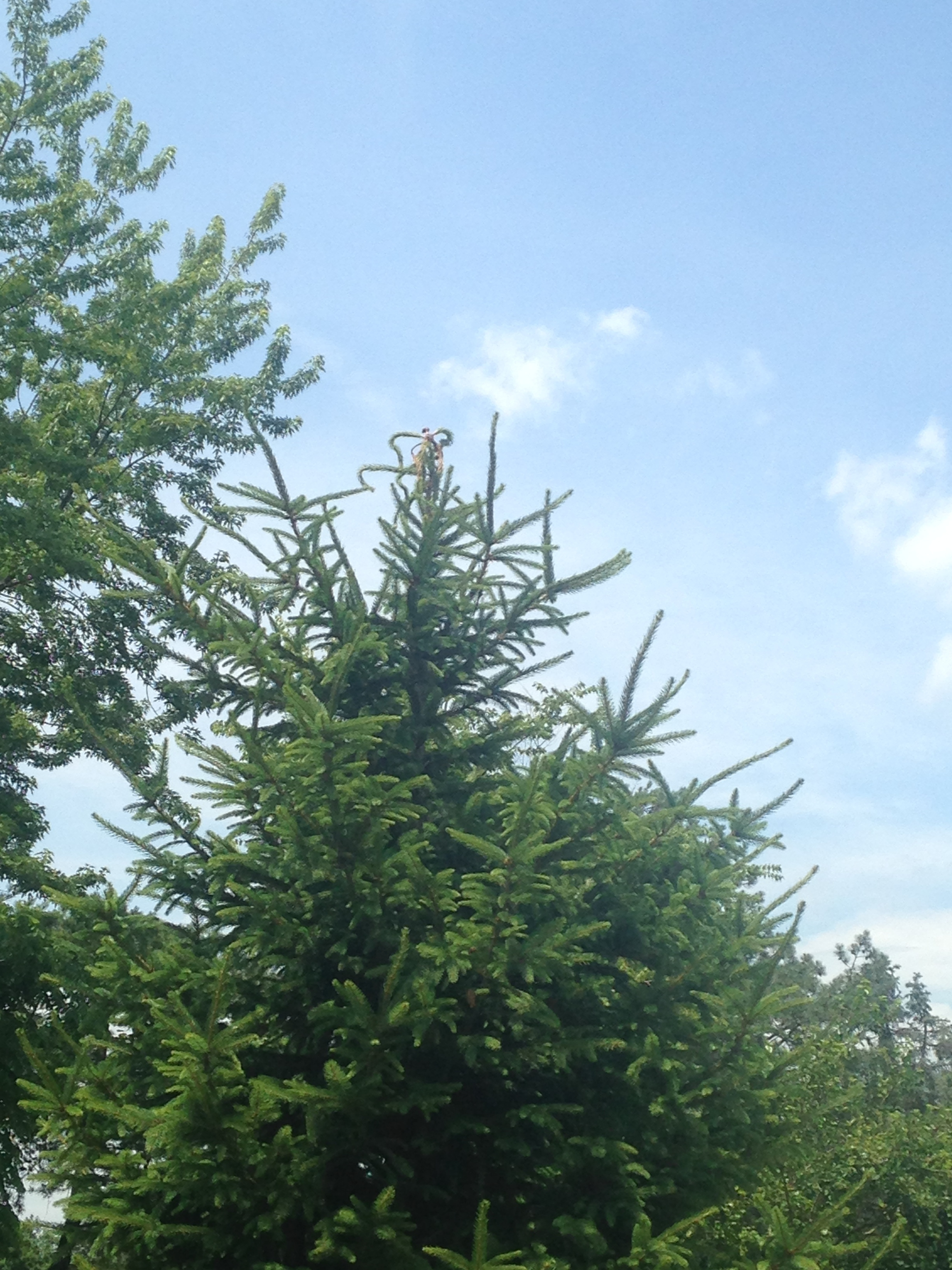 The upper tips of this Serbian spruce are starting to twist, a sign of weevil damage. Photo by Maria Gulley