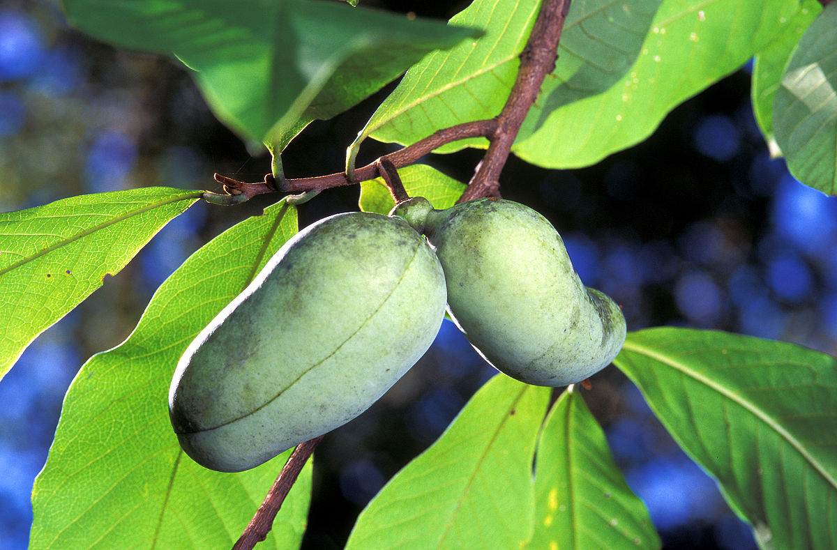 Pawpaw fruits  By Scott Bauer, USDA - USDA ARS Image Number K7575-8, Public Domain