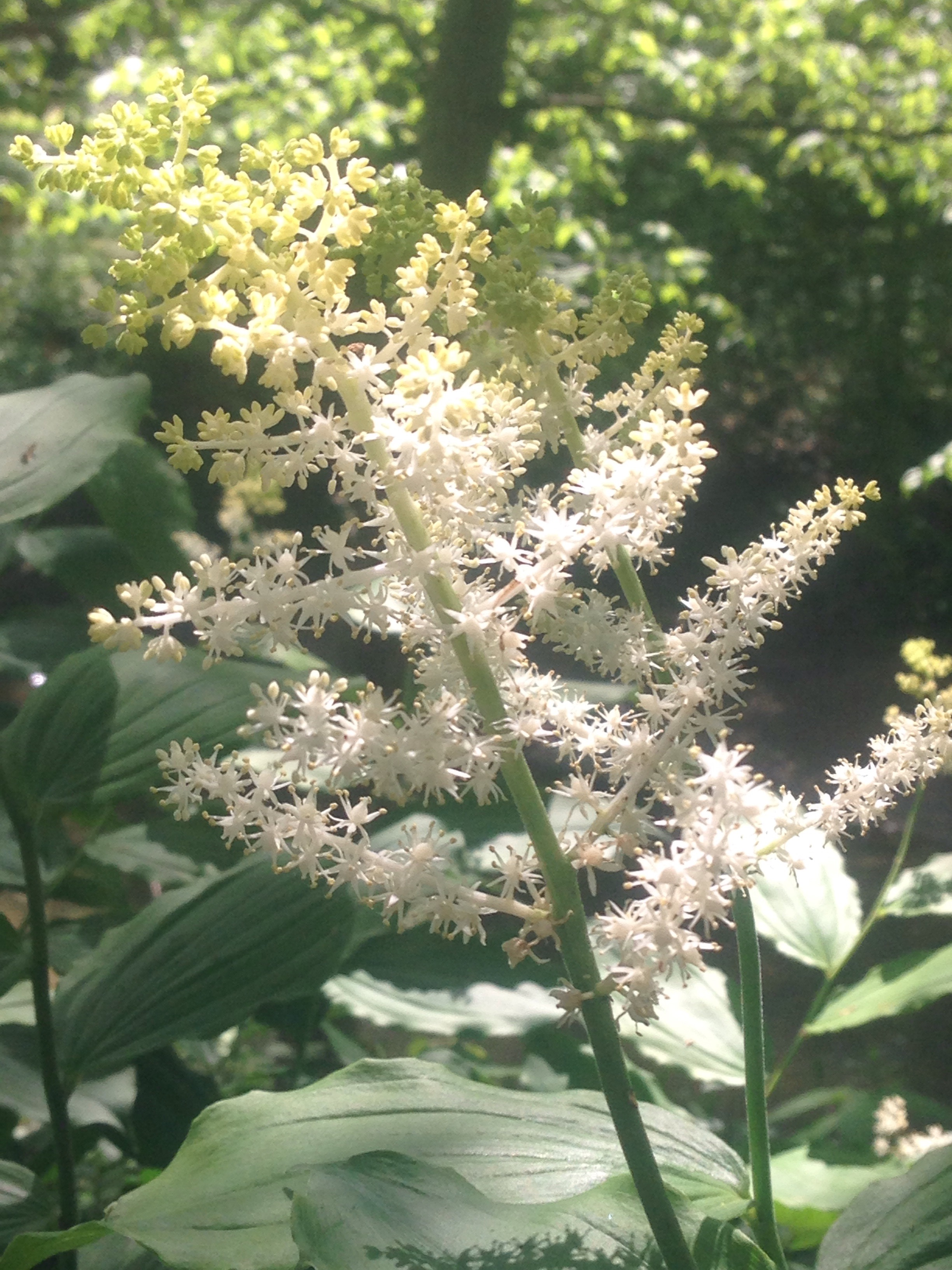 Astilbe Photo by Maria Gulley
