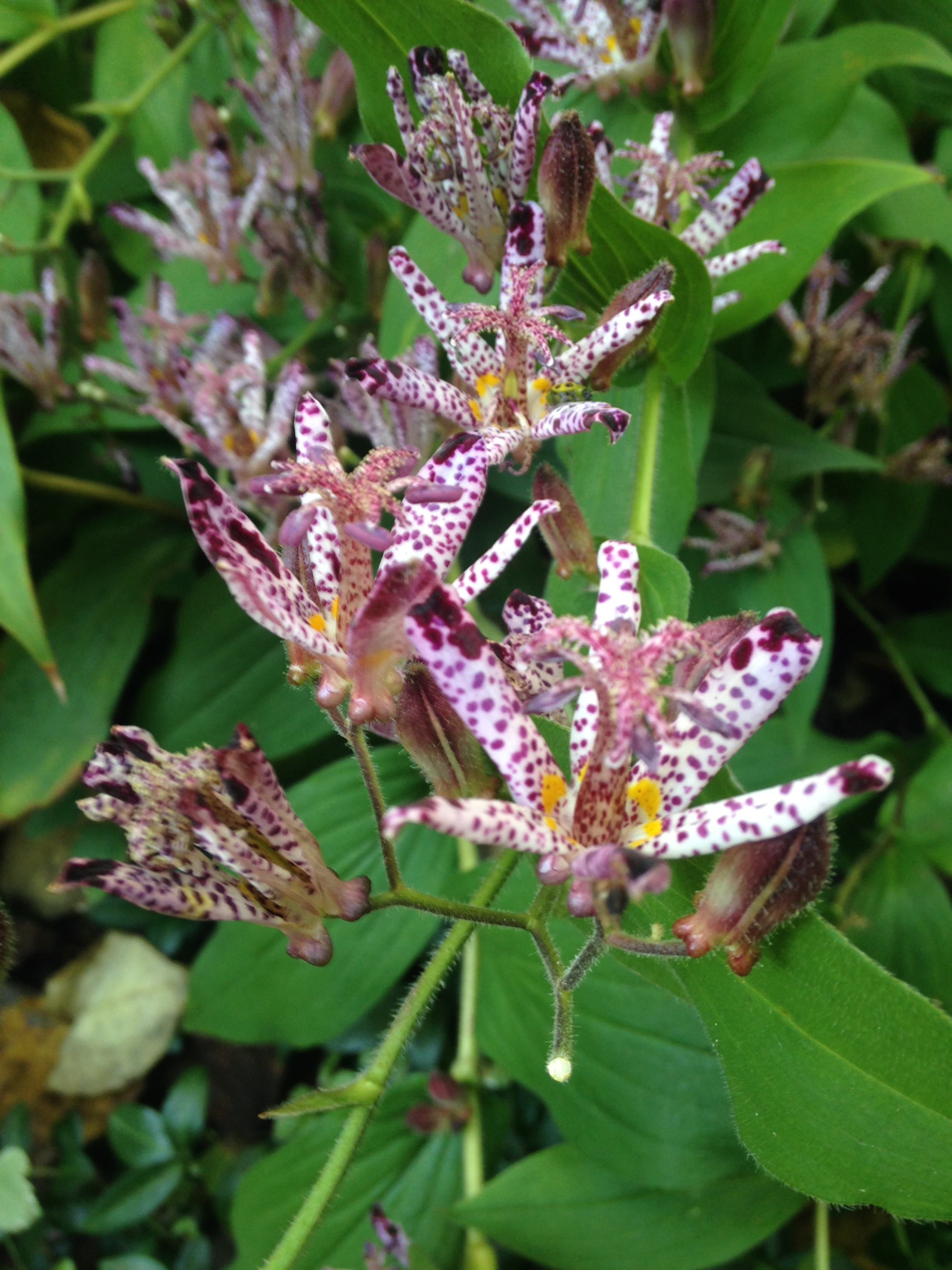 Toad Lily Photo by Maria Gulley