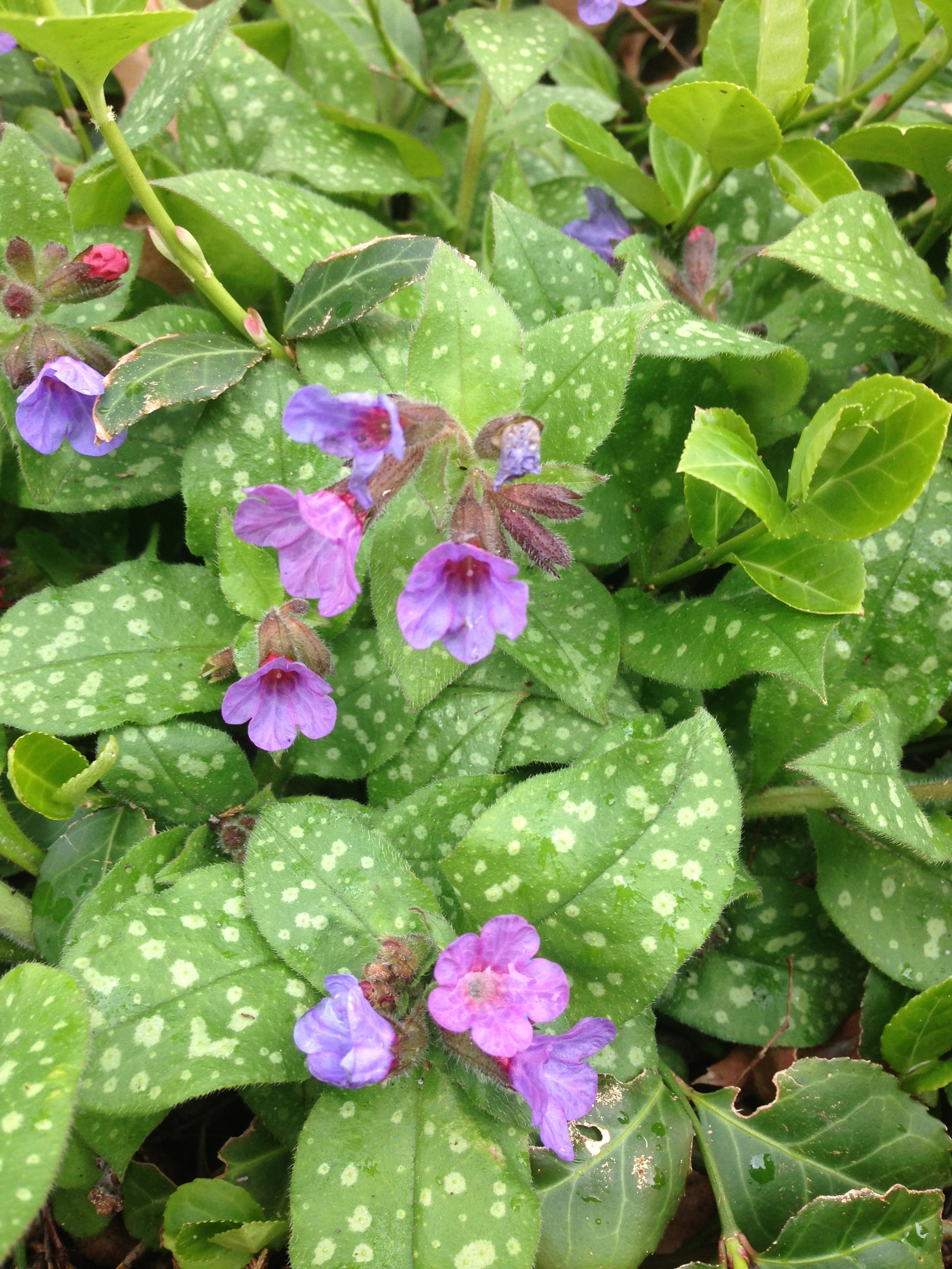 Pulmonaria Photo by Maria Gulley
