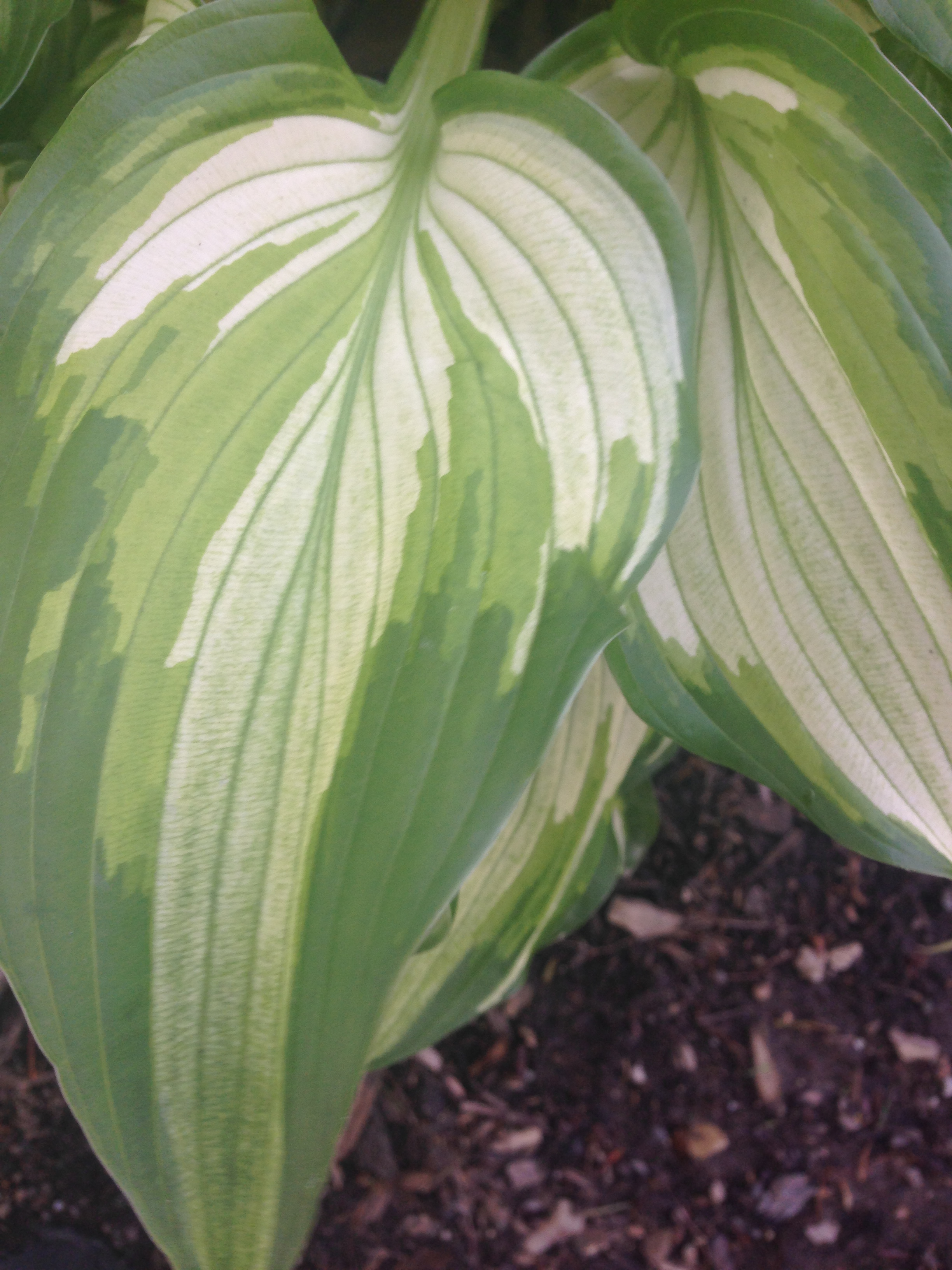 Hosta Photo by Maria Gulley