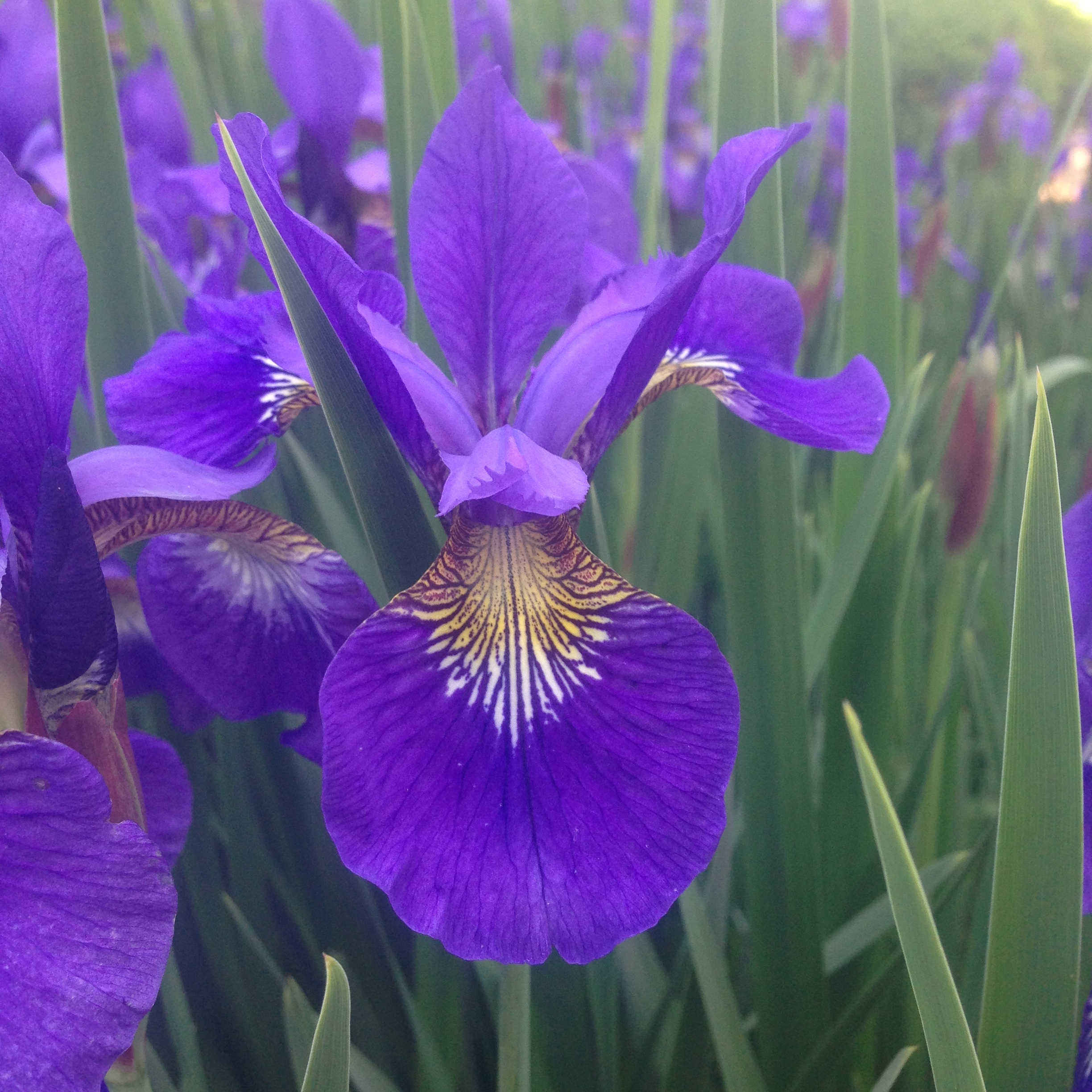 Irises have horizontal rhizomes that can be cut and divided. Photo by Maria Gulley