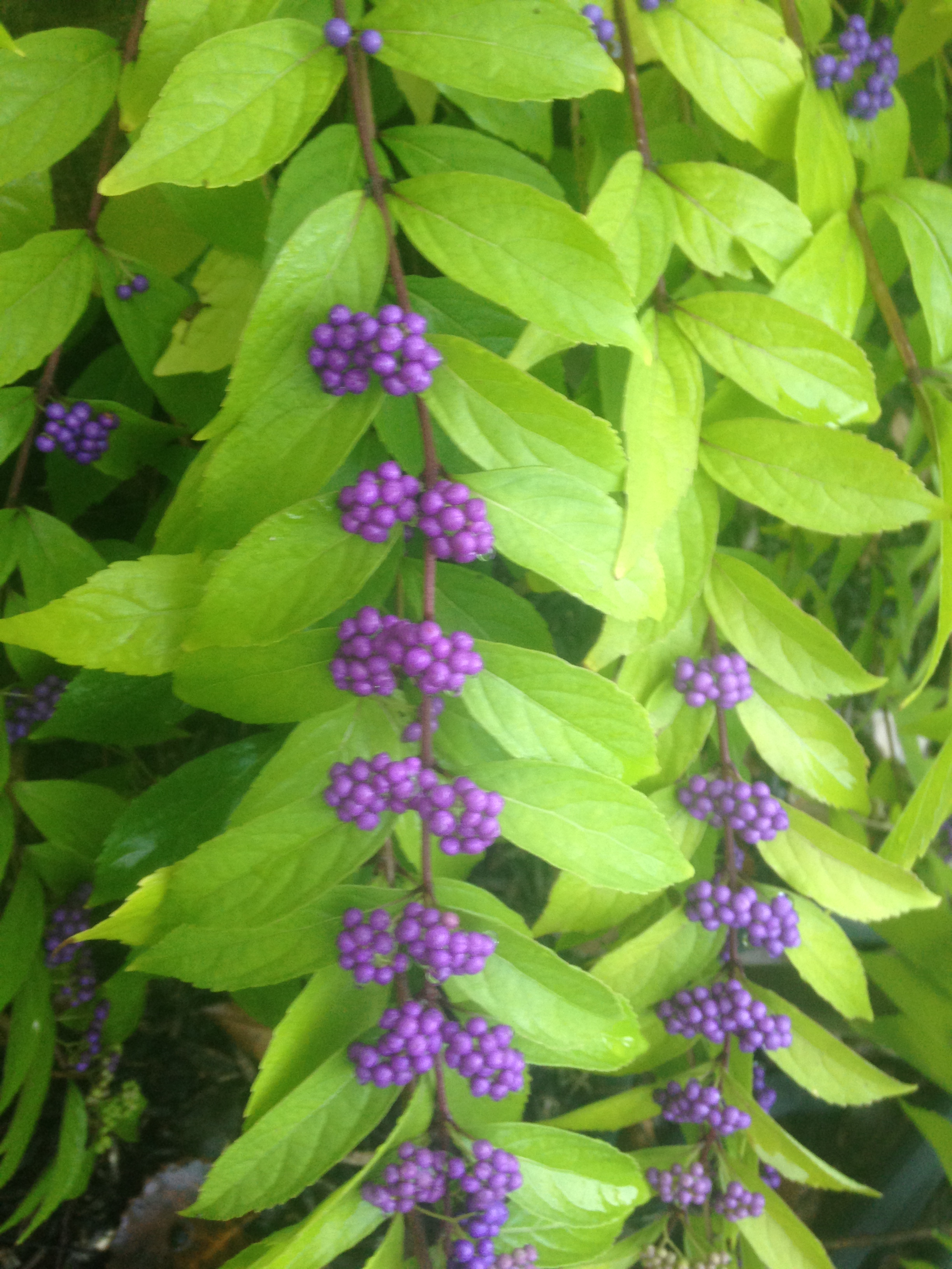 Beautyberry Photo by Maria Gulley