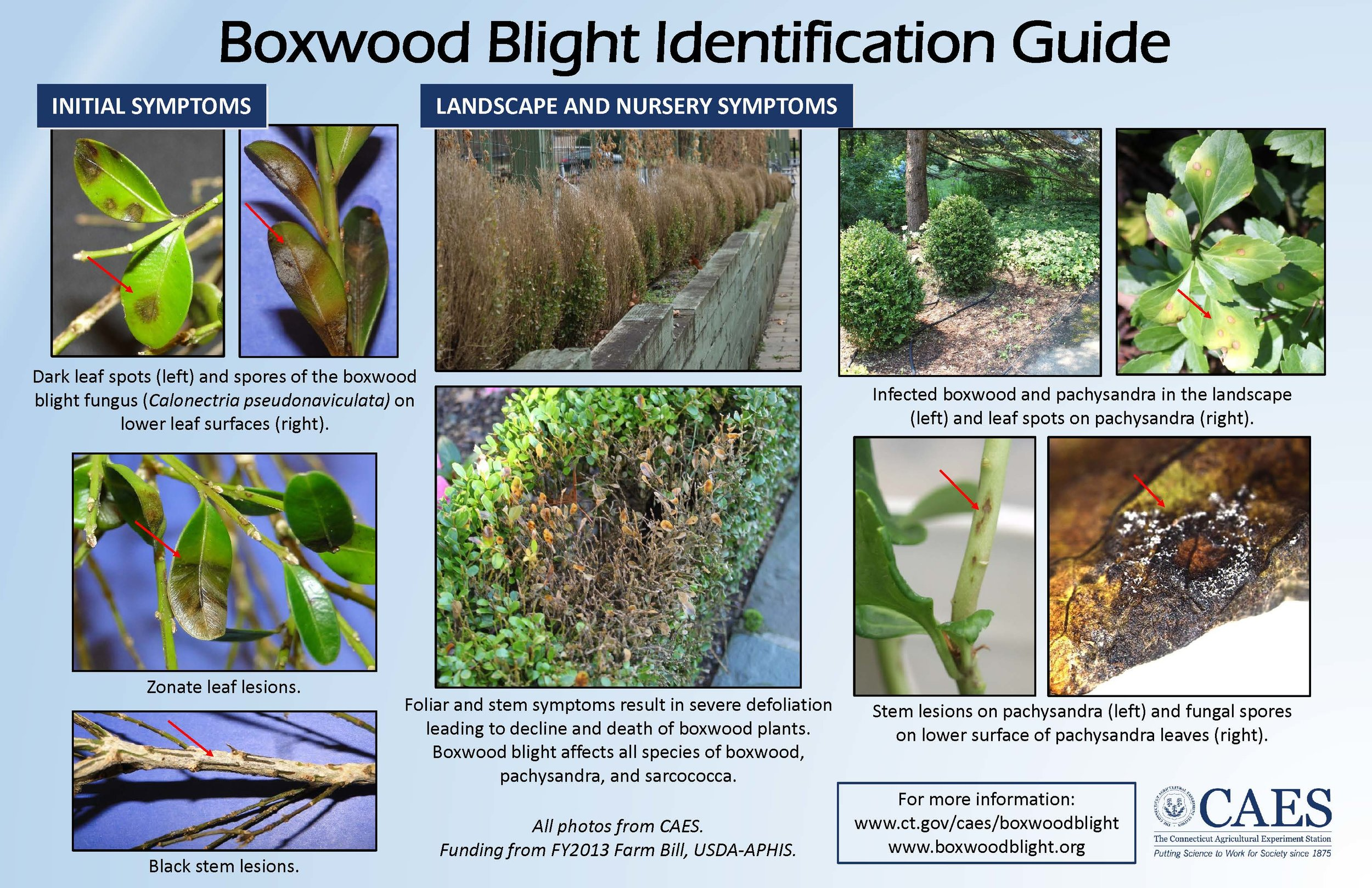 The Connecticut Agricultural Experiment Station put together a great visual guide for diagnosing boxwood blight (click to see larger).