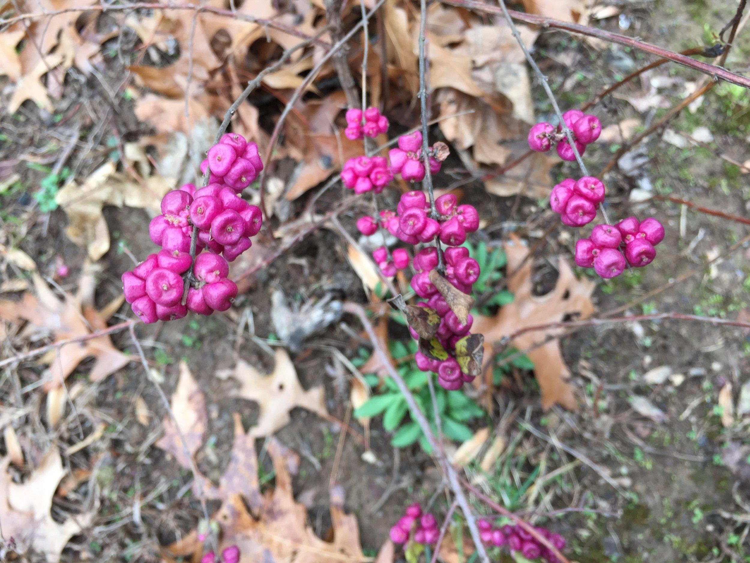 Coralberry, Symphoricarpos orbiculatus   By Famartin - Own work, CC BY-SA 4.0