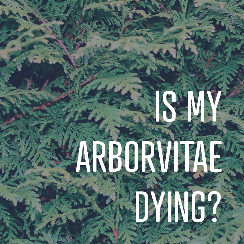 10-14-16 are my arborvitae dying-.png