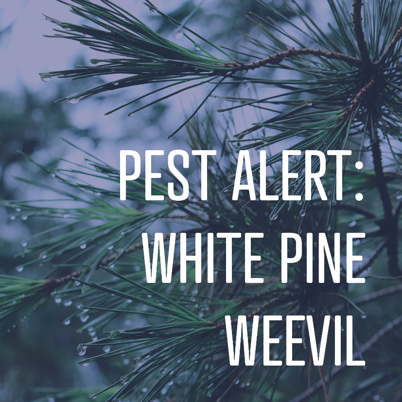 06-30-17 - white pine weevil.png