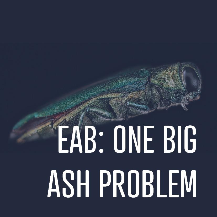 05-27-16 eab- one big ash problem.png