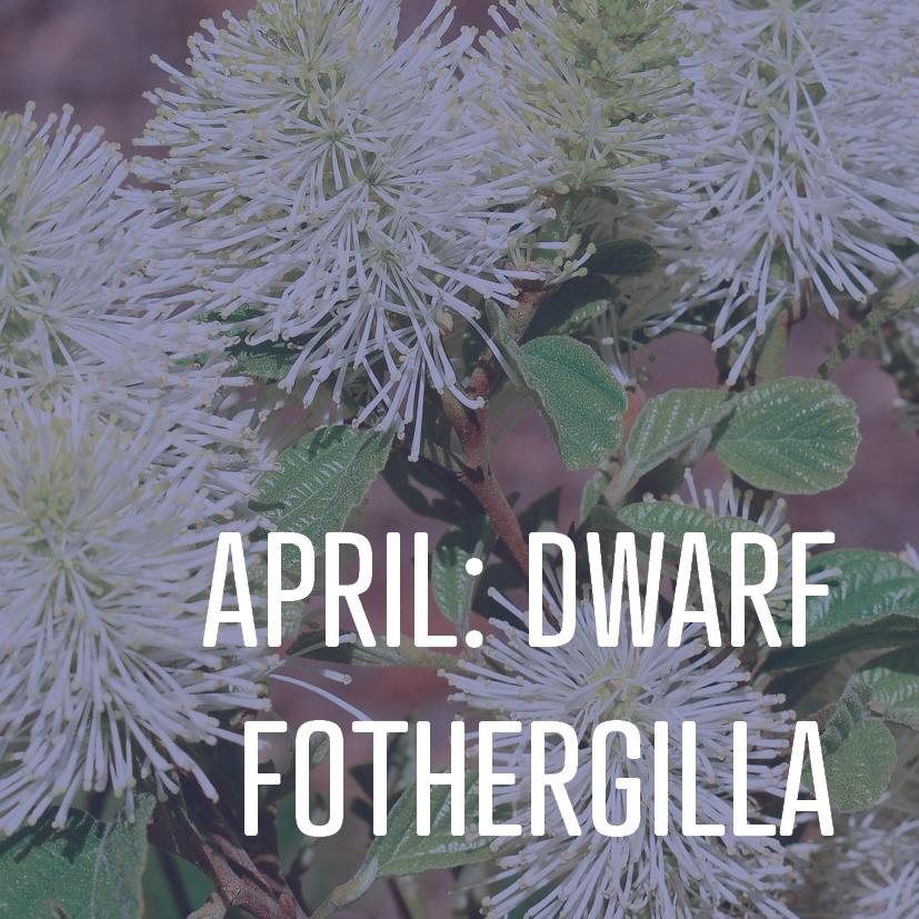 04-04-16 april dwarf fothergilla.jpg