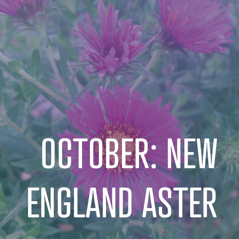 10-07-16 october- new england aster.jpg