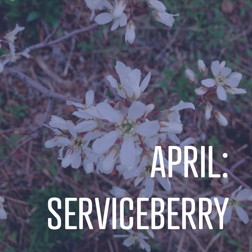 04-07-17 april serviceberry.jpg