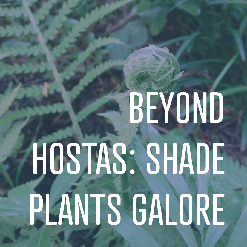 07-28-17 beyond hostas- shade plants galore.jpg