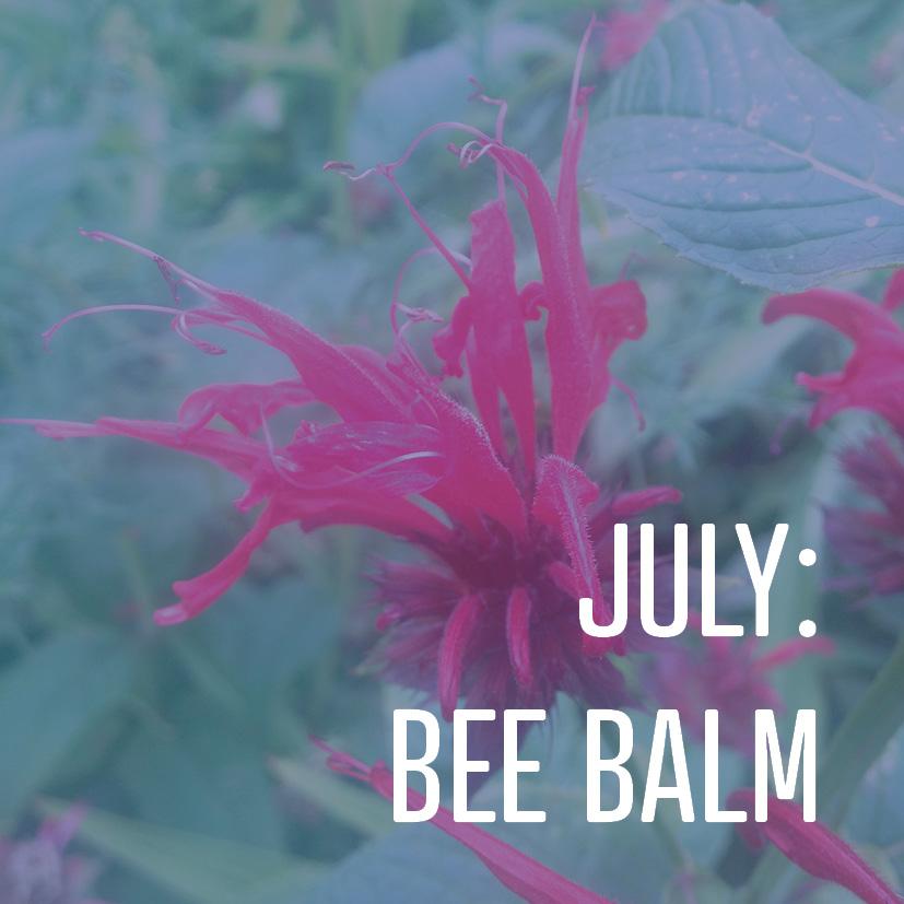 07-07-17 july bee balm.jpg