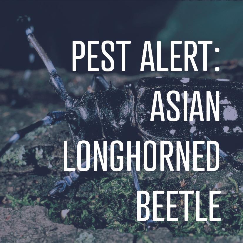 08-29-16 asian longhorned beetle.jpg