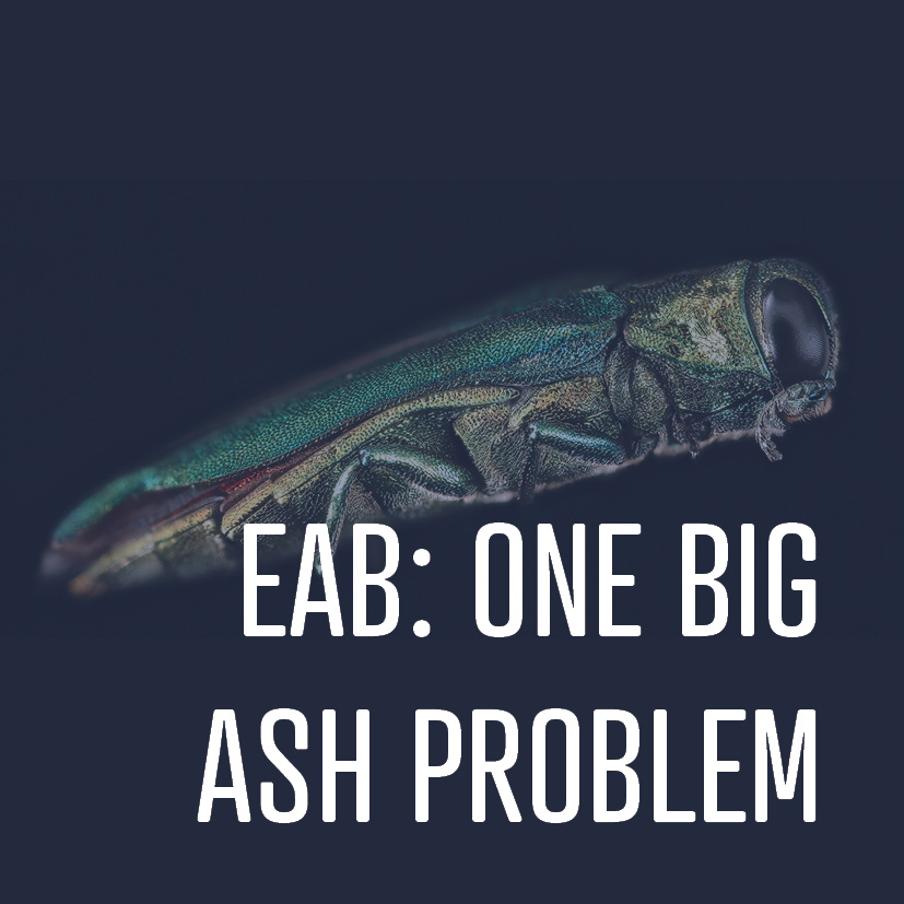05-27-16 eab- one big ash problem.jpg