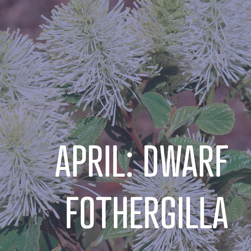 04-04-16 april dwarf fothergilla.jpg