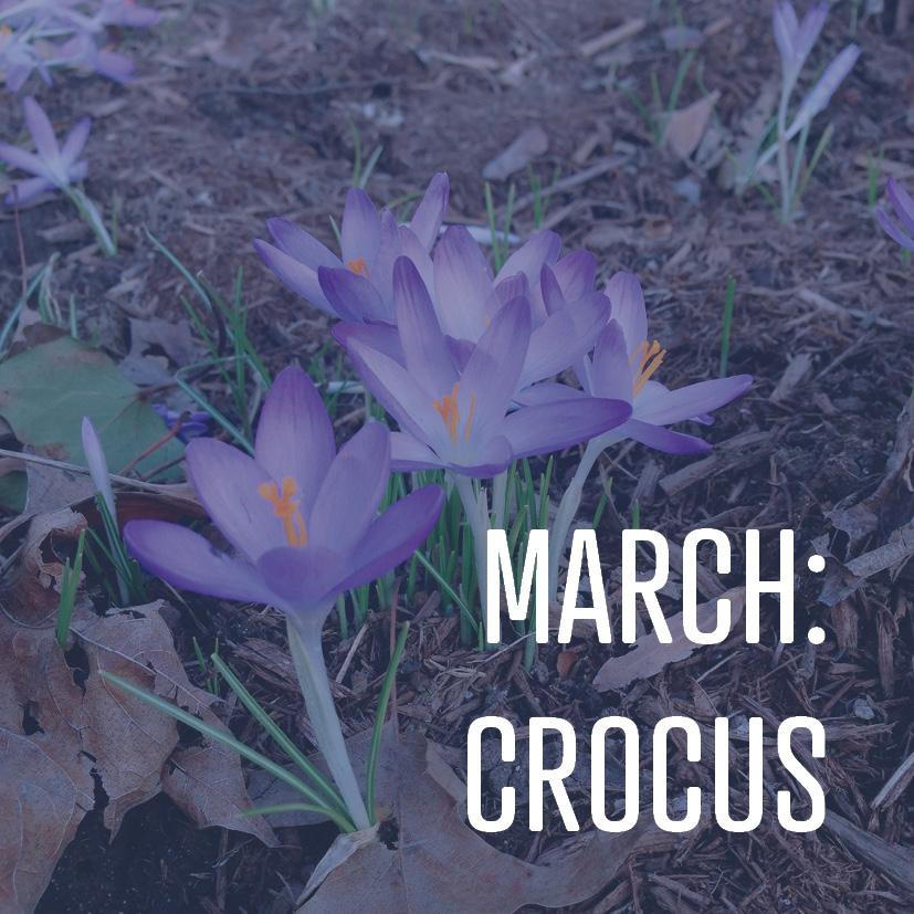 03-04-16 march - crocus.jpg