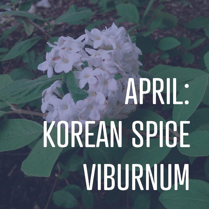 04-01-16 april korean spice viburnum.jpg