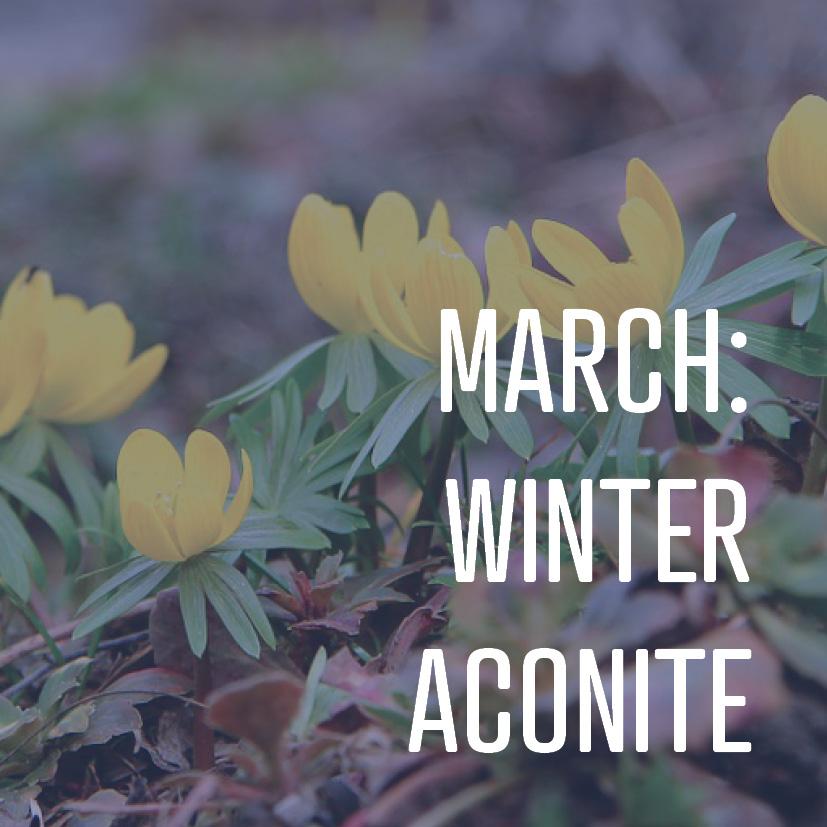 03-14-16 march winter aconite.jpg