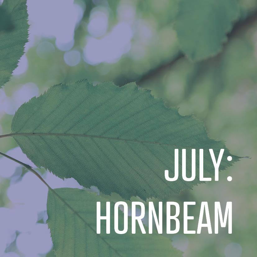 07-01-16 july- hornbeam.jpg