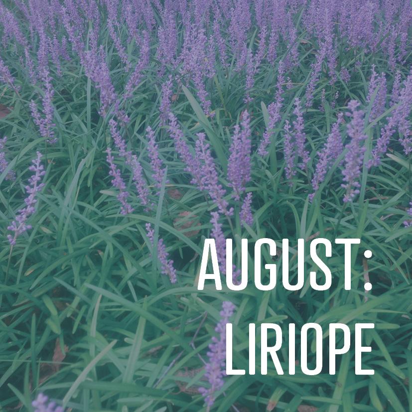 08-05-16 August- Liriope.jpg