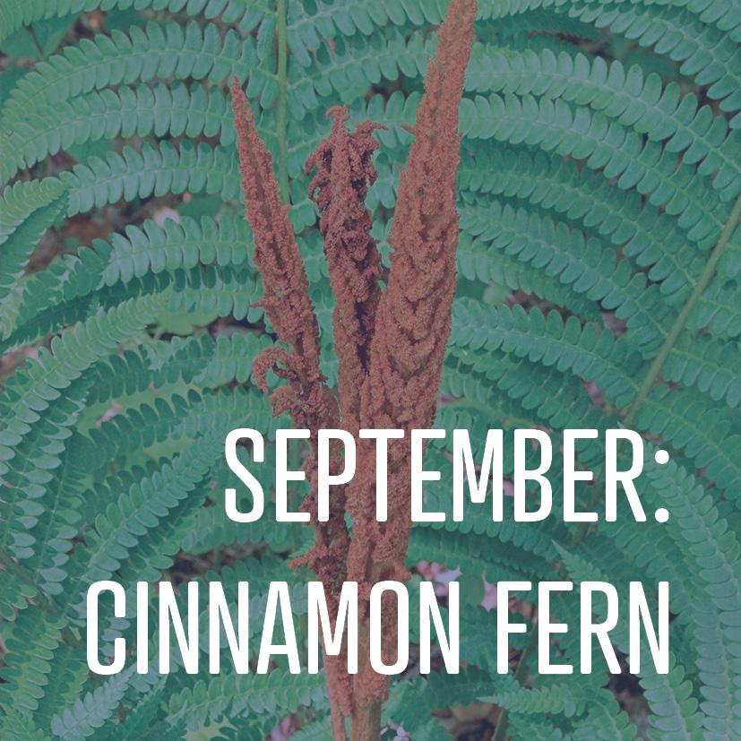 09-04-18 september cinnamon fern.jpg