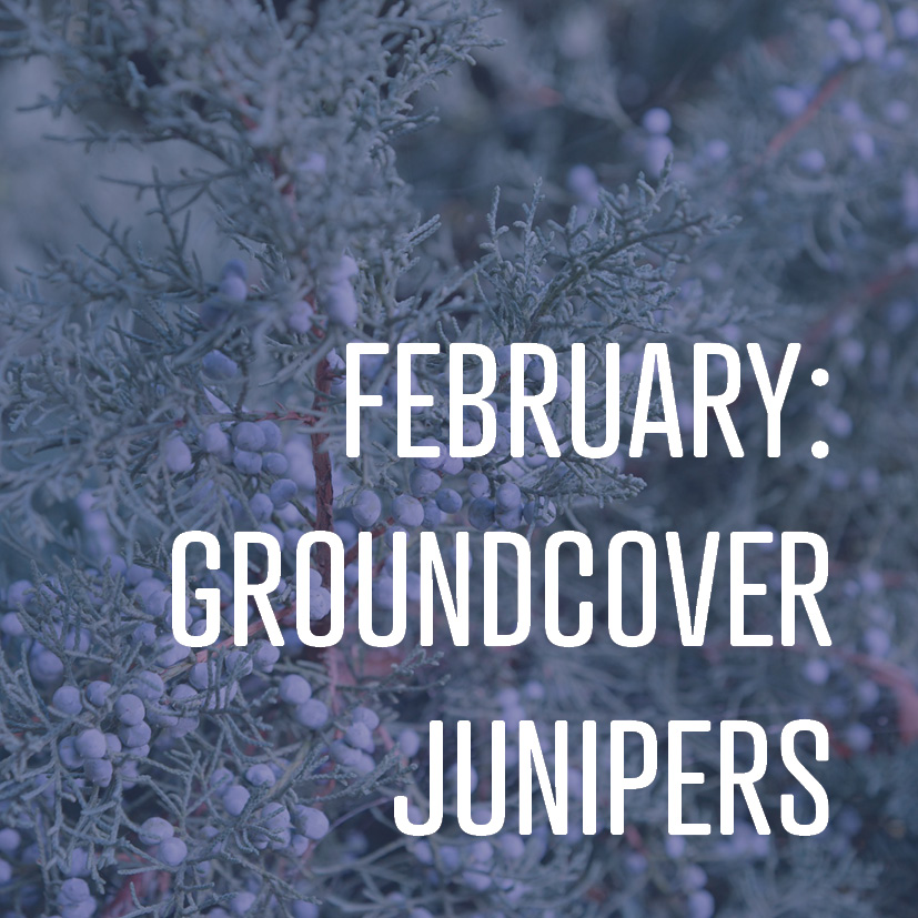 02-08-18 february groundcover junipers.jpg