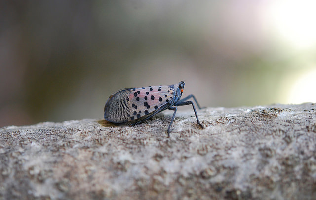 An adult spotted Lanternfly (Photo courtesy of Bugwood)